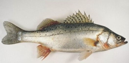 Picture of Live Striped Bass