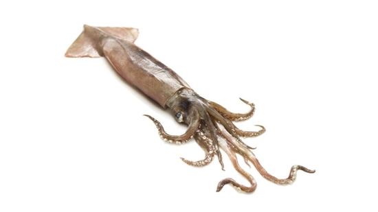 Picture of live SQUID